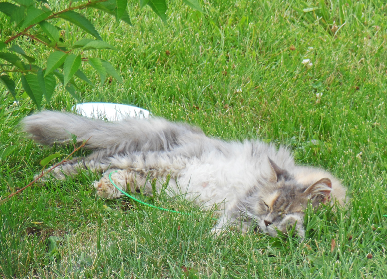 Cat Dusk napping in grass